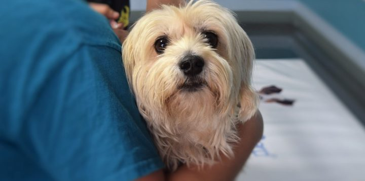 Koira eläinlääkärissä hunden hos veterinären