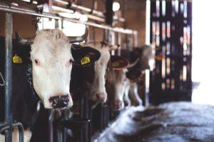 Kor i djurstallet